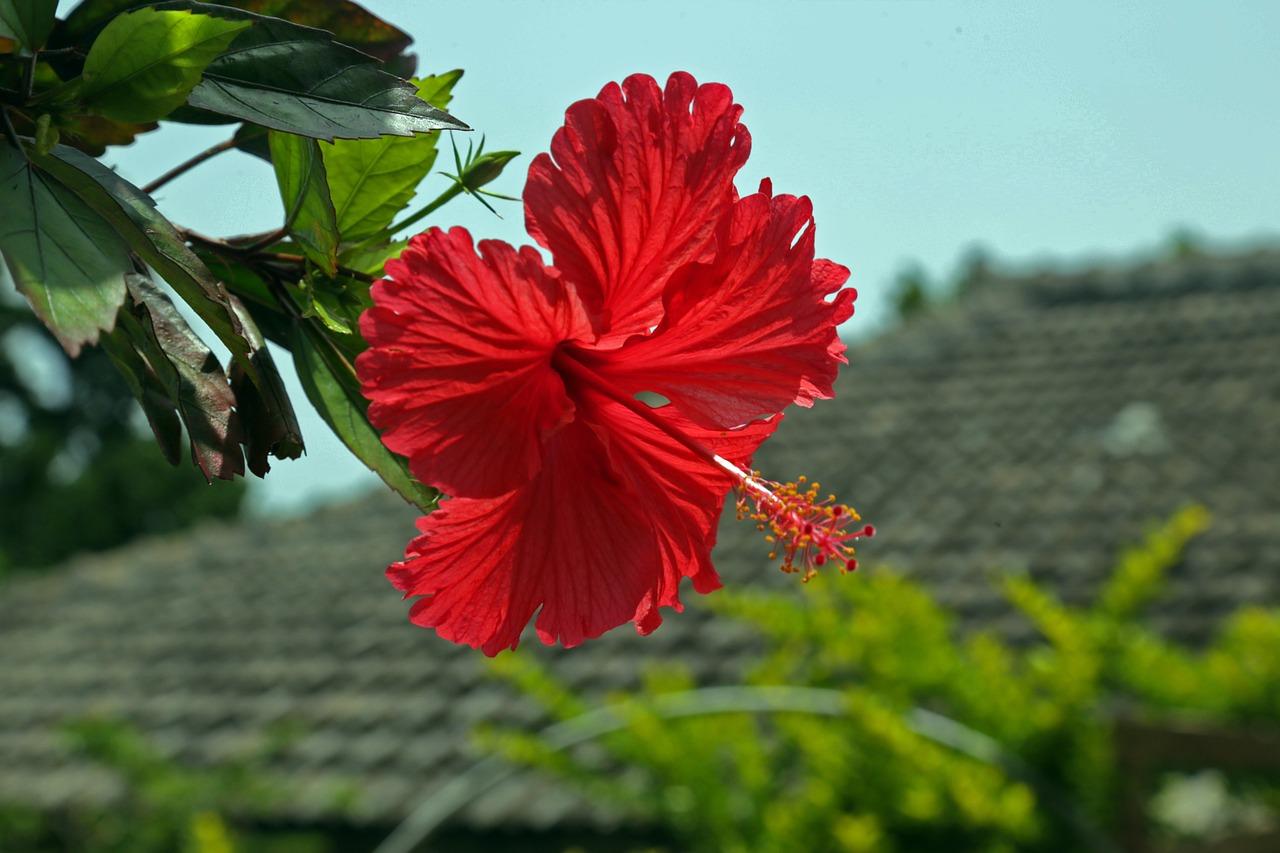 hibiscus-787030_1280